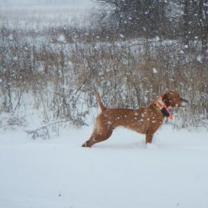 Vizsla Point in the Snow...