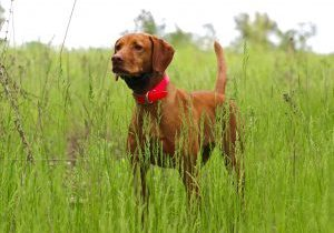 Abby Award Winning Vizsla