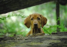 Vizsla Dogs and Puppies